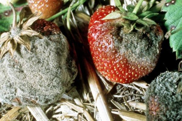 Szara pleśń na truskawce (1).jpg