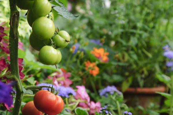09 Pomidor (2).jpg